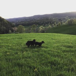 Mishka and Archer in the field.